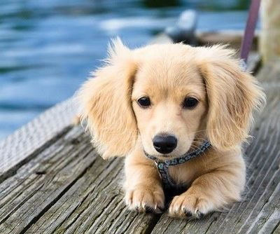 half golden half wiener dog!