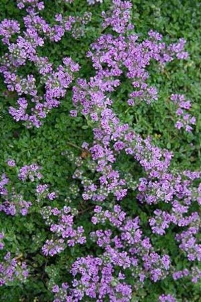 elfin thyme fragrant ground cover with small purple