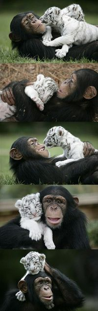 Chimpanzee and Tiger Cub