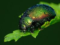 Dew-covered beetle.
