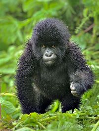 Baby Mountain Gorilla. His fur is wet from the rain. by Andy Rouse. He's soo cute!