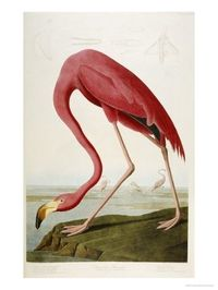 Flamingo Drinking at Water's Edge, John James Audubon