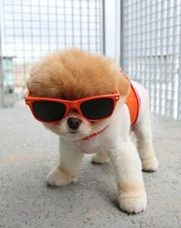 puffball in sunglasses