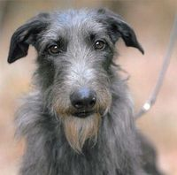 Scottish Deerhound named Hickory won Best in Show at the Westminster Dog Show