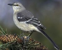 Northern Mockingbird © James M. Wedge/VIREO