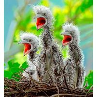 Three baby Malay night herons wait for food from their parents, in Yangmingshan, Taipei, Taiwan.
