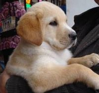 Julian is an adoptable Labrador Retriever Dog in Pisgah, AL. Julian is about 9 weeks old in our photos taken on Feb. 18th. He is accompanied by two equally adorable yellow sisters and a jet black brot...