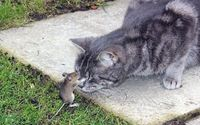 mouse fights cat!