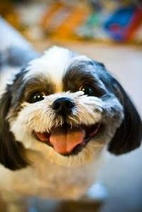 happy shih tzu!