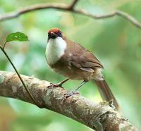 White-throated Laughing Thrush, taken at Lalashan, Taoyuan County, TAIWAN