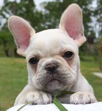 french bulldog-breed
