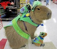 A capybara with a guinea pig on its back. I can't tell you why I like this so much. I just definitely do.