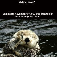 OH MY GOD THIS IS THE CUTEST PICTURE OF A SEA OTTER EVER!!!!!!!!!!!!! I THINK I JUST DIED OF CUTENESS!!!!!!