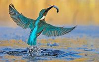 Kingfisher Success