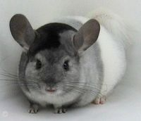 Chinchilla! (With a cool color mutation!)