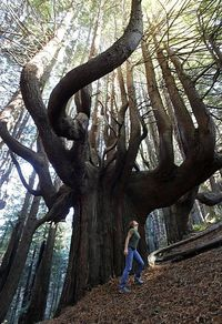 "500 year old Candelabra Redwoods growing the ""Enchanted Forest"" on Shady Dell in California"