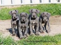 Posts Similar To Mastidane Or Daniff Mastiffgreat Dane Puppies