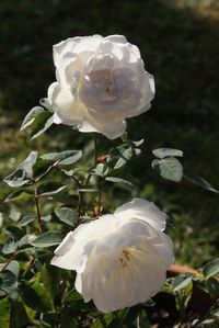 "Moonlight Scentsation Miniature Rose 24-30"". This might go in my big oval container with the Spilled Wine Weigela :)"