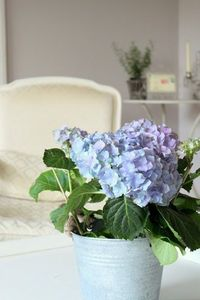 blue hydrangea and French chair