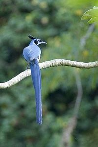 Calocitta formosa (Black throated magpie Jay)