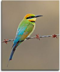 Rainbow Bee-eater . In my own backyard.